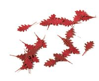 Northern Red Oak Autumn - Dry Leaves